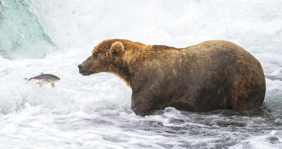 Brown bear fishing Rick Beldegreen