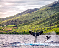 Humpback whale tails; Mom & calf