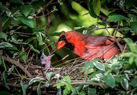 Cardinal male with young