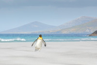 King penguin on beach-2