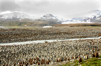Scenic King penguin colony
