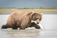 Bear with silver salmon