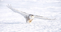 "Snowy owl ""ready to pounce"""