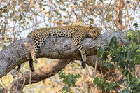 "Classic ""leopard in tree"" pose"
