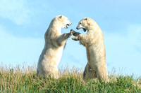 Polar Bears Sparring 2